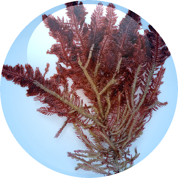 Red Algae Extract - 18.01.2016