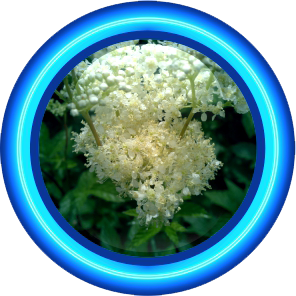 Star Ingredient - MEADOWSWEET EXTRACT