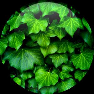 Hedra Helix Ivy Extract